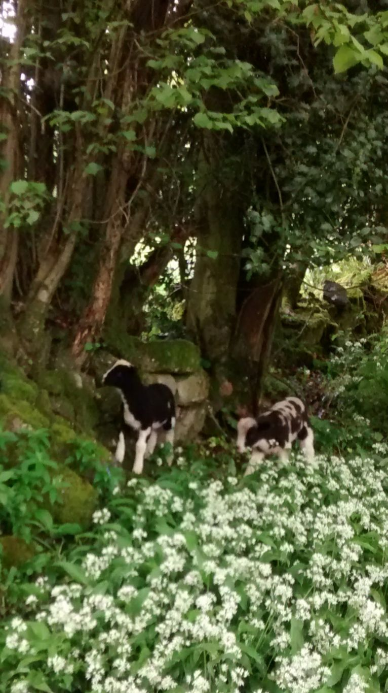 jacob lambs in wild garlic springtime