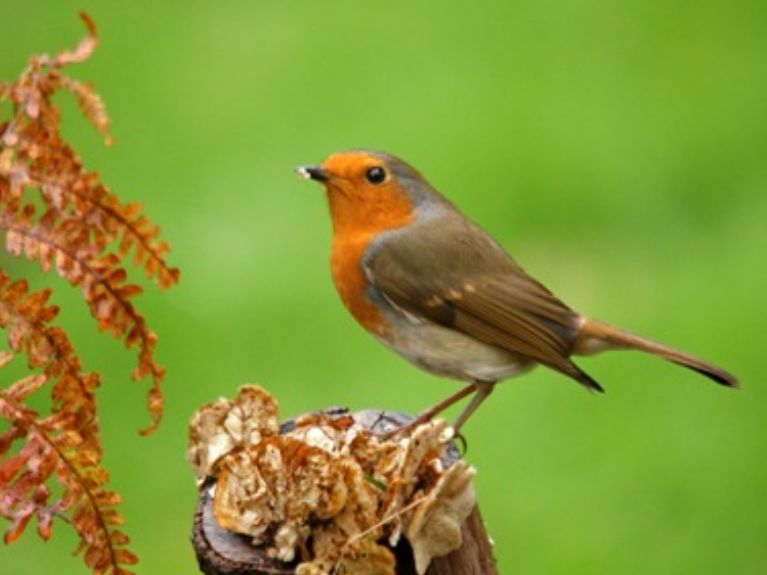 inquisitice robin twitchers and birdwatching