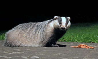 Find badgers near our holiday cottage near the Forest of Dean