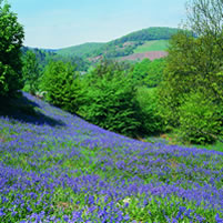 Oakgrove Holiday Cottage and beautiful bluebells
